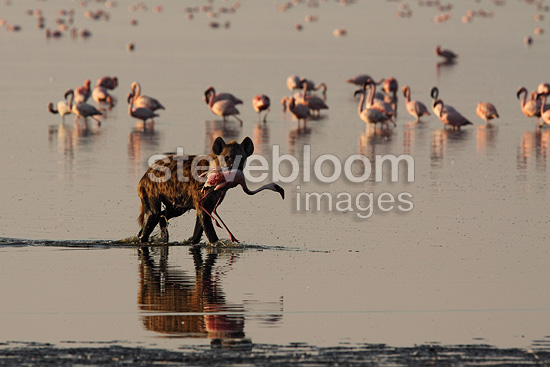 Spotted hyena with captured Flamingo Lake Nakuru Kenya (Lesser Flamingo; Speckled hyena)