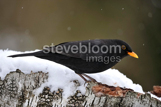 Male Blackbird standing on branch of birch covered with snow (Blackbird)