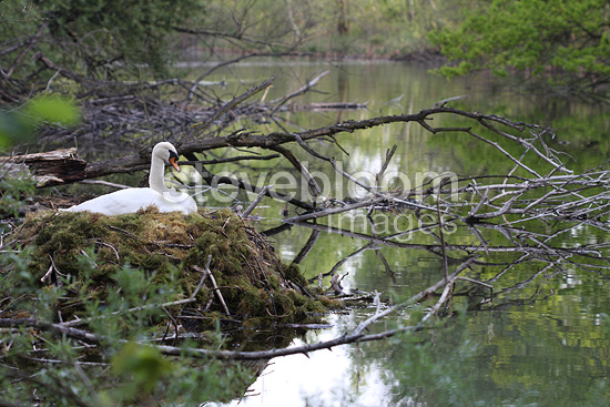 Mute Swan in her nest made with foam Alsace (Mute Swan)
