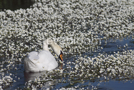 Mute swan flying in the middle of Ranunculus aquatic (Mute Swan)