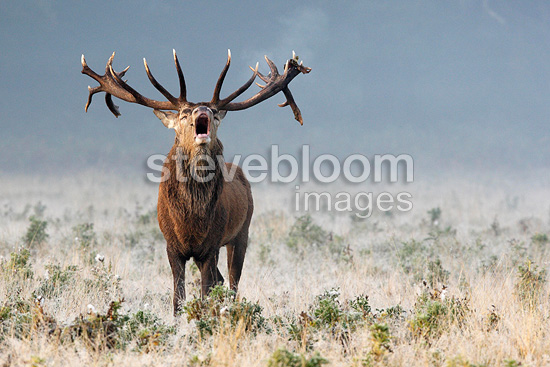 Red deer Stag roaring at sunrise in the autumn,  Great Britian