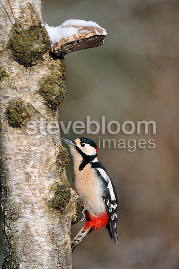 Male Great spotted woodpecker on the trunk of a birch (Greater spotted woodpecker)