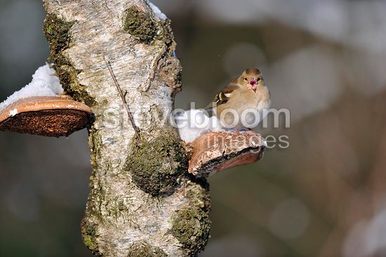 Female Chaffinch on a  birch in winter (Chaffinch)