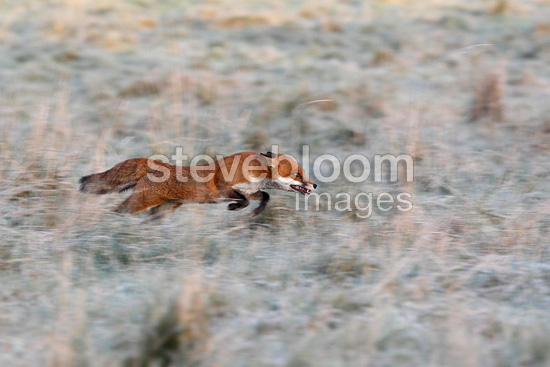 Red fox running in a frozen meadow in autumn GB (Red fox)