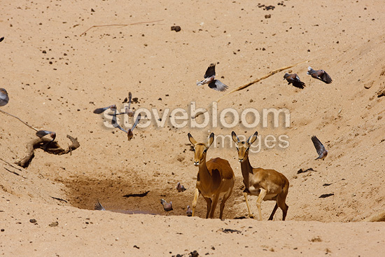 Impalas and Doves in a dry riverbed Samburu�Kenya (Impala)
