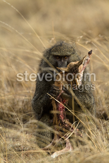 Male baboon eating a gazelle he killed Masai Mara Kenya (Anubis baboon)