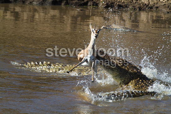 Crocodiles catching a gazelle in water Masai Mara Kenya