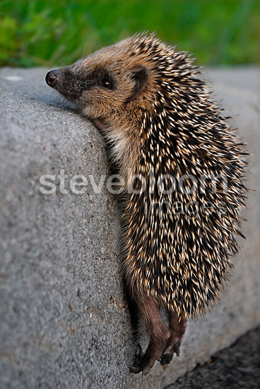 Young hedgehog trying to climb onto a sidewalk France (Western european hedgehog )