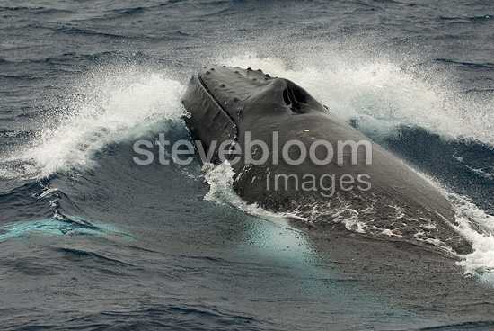 Charges of Humpbacks during a heat run South Pacific (Humpback whale)