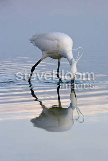 Reflection of a Little egret fishing in the spring France (Little egret)