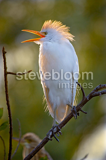 Cattle egret shouting The Dombes France (Cattle egret)