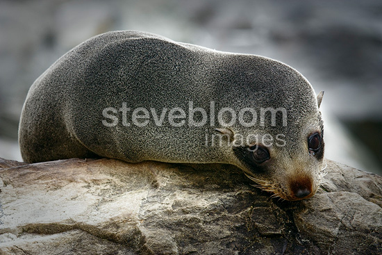 New Zealand Fur Seal resting on the beach New Zealand (New Zealand fur seal )