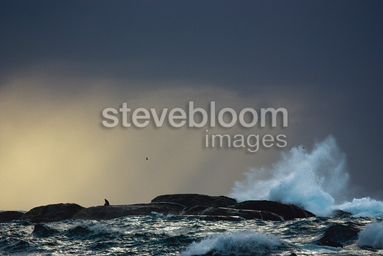 New Zealand Fur Seal in ocean New-Zeland (New Zealand fur seal )