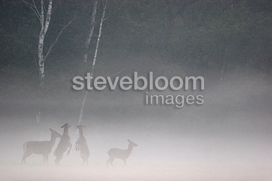 Red deer females and young in the mist Centre France  (Red deer)