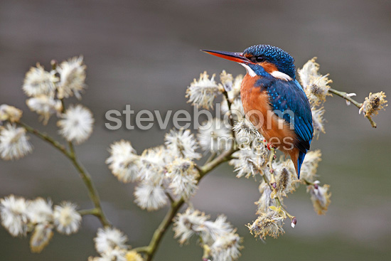 Female Kingfisher standing on a willow GB (Common Kingfisher)