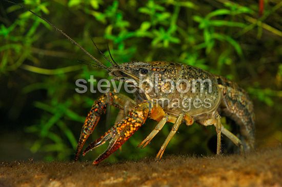 Red swamp crayfish in a pond (Red swamp crayfish)