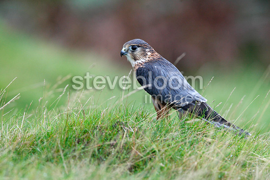 Male Merlin standing on the grass GB (Merlin)