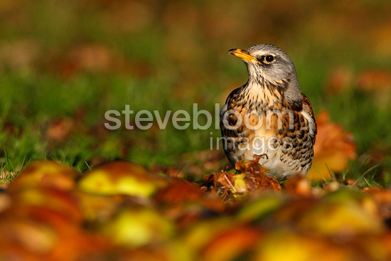 Fieldfare eating apples in winter GB (Fieldfare)