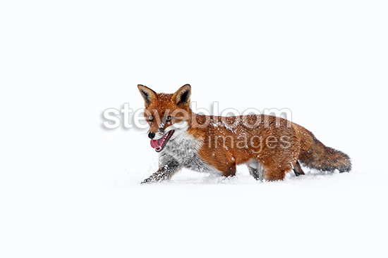 Red fox walking in a meadow covered with snow in winter GB (Red fox)