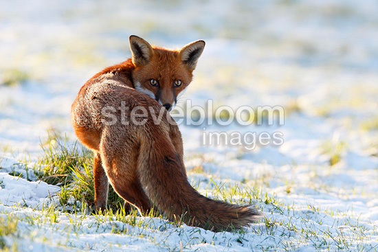 Red fox in a meadow covered with snow in winter GB (Red fox)