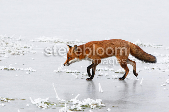 Red fox walking on ice in winter GB (Red fox)