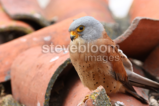 Male Lesser kestrel on the roof of an old building, Spain