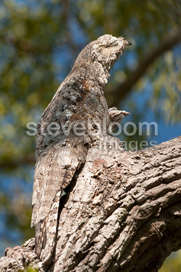 Great Poto on a branch Pantanal Brazil (Great Potoo)