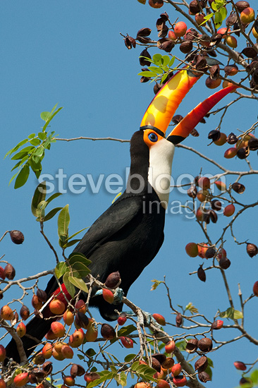 Toco Toucan eating fruit Pantanal Brazil (Toco Toucan)