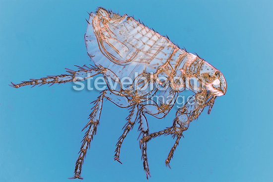 Microscopic view of male dog flea on blue background
