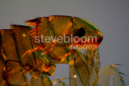 Microscopic view of head of female cat flea, magnification x 100