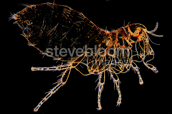 Microscopic view of female Squirrel flea