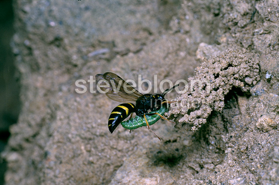 Spiny Mason Wasp flight Auvergne France  (wasp)