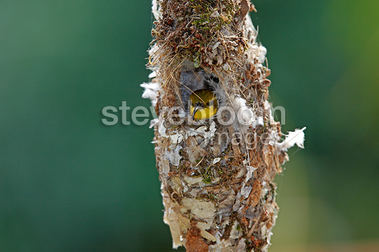 Female Olive-backed Sunbird in the nest Australia (Olive-backed Sunbird)