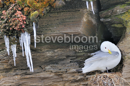 Black-legged Kittiwake nest at Varanger Norway (Black-legged Kittiwake)