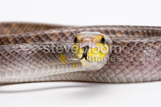Red-tailed Ratsnake on white background
