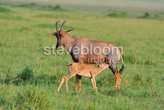 Young Topi sucking its mother in the Masai Mara NR Kenya  (Topi)