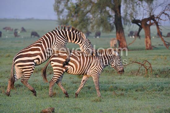 Grants Zebras Mating In Kenya Savannah Grants Zebra