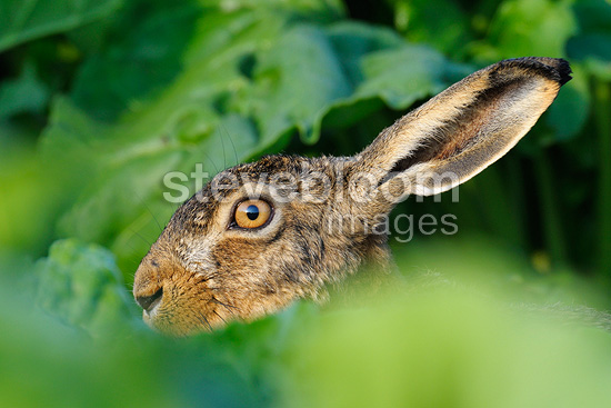 European hare in a field Germany (European Hare )