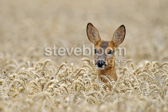 Roe deer in a grain field in summer Germany (Roe deer)