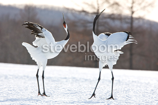 Parade of Manchurian crane on the island of Hokkaido Japan (Red-crowned crane)
