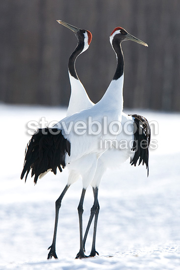 Manchurian cranes in winter on the Island of Hokkaido Japan (Red-crowned crane)