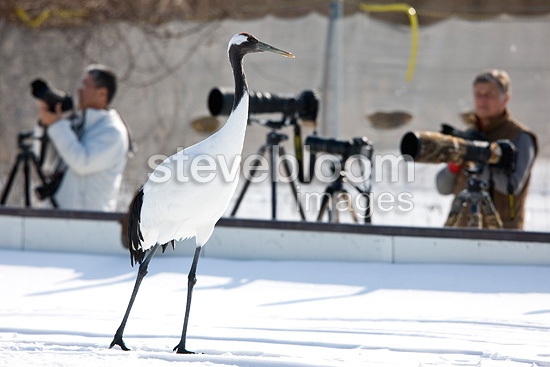 Photographers photographing cranes winter in Japan (Red-crowned crane)