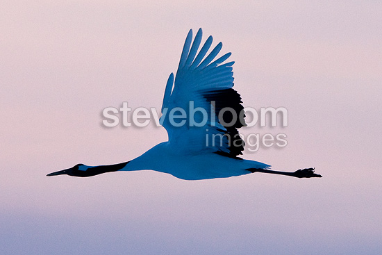 Red-crowned Crane flying Island of Hokkaido Japan (Red-crowned crane)