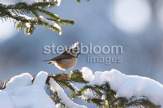 Crested tit on a branch covered with snow France (Crested Tit)