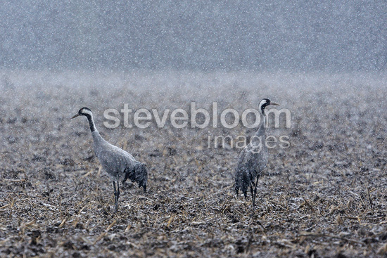 Common Cranes in the snow  Wet Champagne France� (Common Crane)