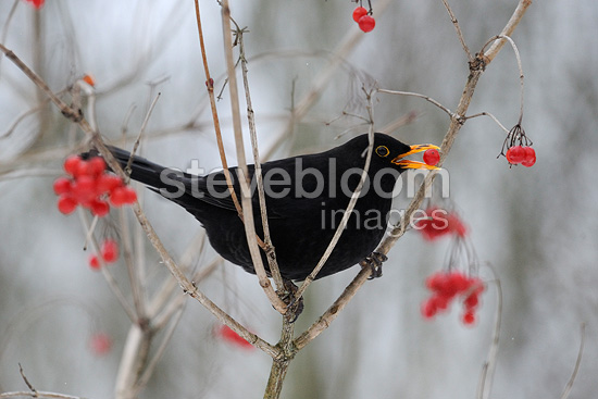 Blackbird eating berries of Viburnum Vosges France  (Blackbird)