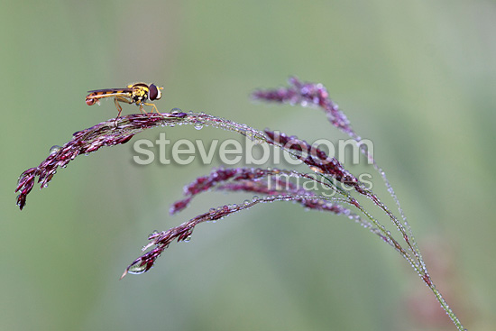 Syrphid fly on a Gramineae France (Syrphid fly)