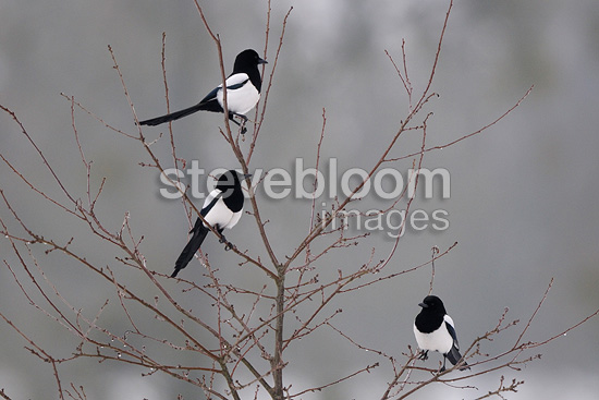 Magpies on a tree Vosges France (Black-billed Magpie)
