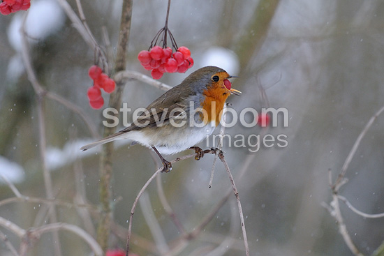 European Robin eating berries of Viburnum Guelder France� (European Robin)