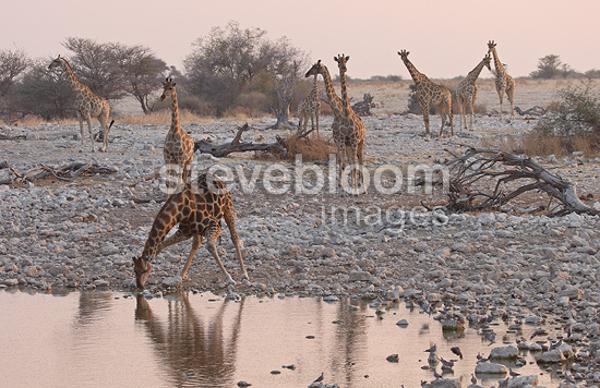 Giraffes at a water point Etosha NP Namibia (Giraffe)